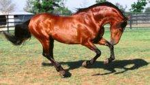 White Andalusian Horse Horses