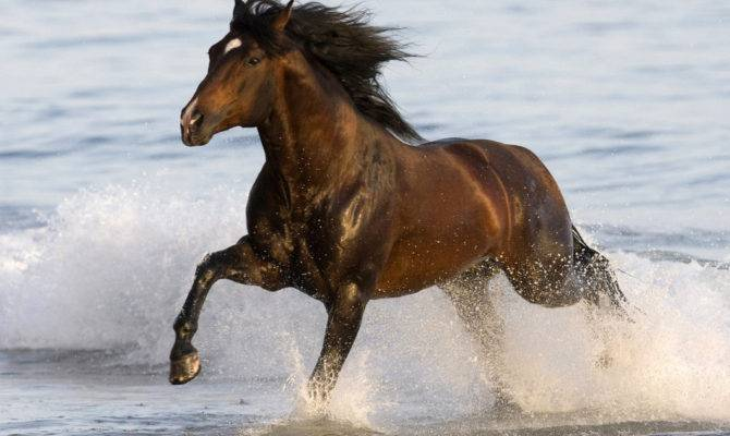 Andalusian Horse Beach Running Brown Horses
