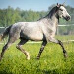 Andalusian Horse Pets Homes