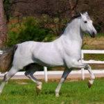 Andalusian Horses Animalgals
