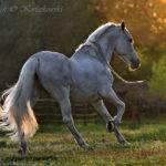 Andalusian Horses Pinterest