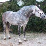 Gray Andalusian Horses Sale Pre