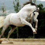 Grey Andalusian Horse Horses Pinterest
