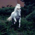 White Jumping Andalusian Horses